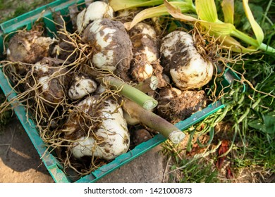 dig up the tubers of the flower of Fritillaria