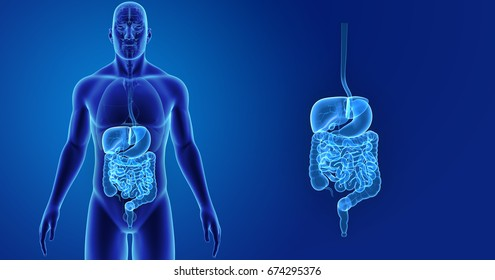 Digestive system anterior view 3d illustration