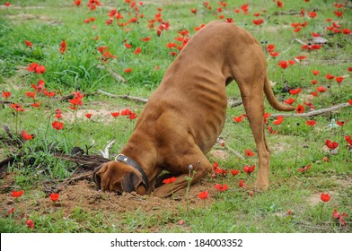 Digging dog,  thrust the head into a hole