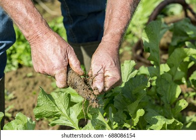 Digging up fresh black radish with hands gardener in the garden, close up on hands
