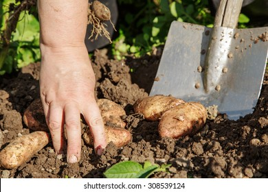 Digging up fresh potatoes with shovel outdoors