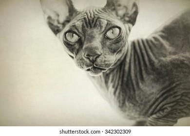 Digital art, paint effect, Sphynx cat, Brown mackerel tabby
