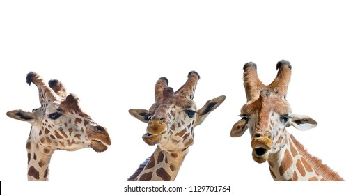 digital painting of giraffe portrait isolated on white background