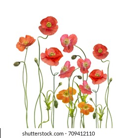 Digital Painting of  Red Poppy Flowers,isolated on white background