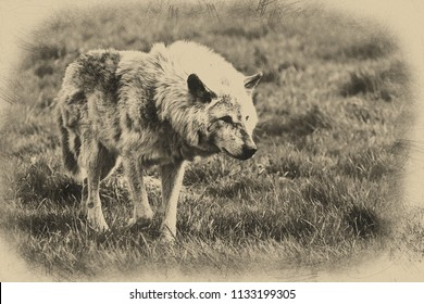 Digital pencil drawing of Beautiful grey Timber Wolf Cnis Lupus stalking and eating in forest clearing landscape setting