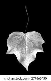 digital photogram of ivy leaf studio cut out