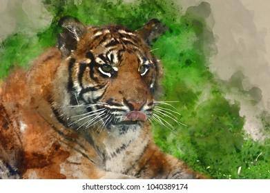 Digital watercolor painting of Portrait of Sumatran Tiger Panthera Tigris Sumatrae big cat in captivity