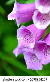 Digitalis purpurea - common foxglove