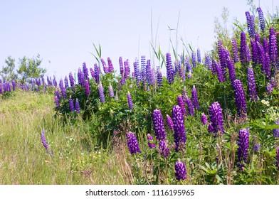 Digitalis purpurea - foxgloves