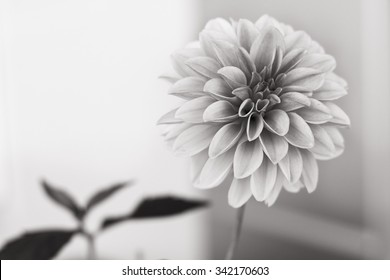 Digitally Sepia Toned Black and White Photograph of a Dahlia Flower in Full Bloom