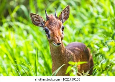Dik dik antelope in Tarangire National Park, Tanzania.