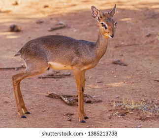 Dik-dik small little antelope, Madoqua, mouth open, male with horns, very pretty face looking forward into camera standing in shade, side profile face body. Samburu National Reserve Kenya East Africa