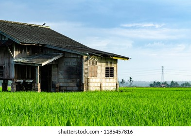 dilapidated abandon wooden house surrounding with beautiful landscape of green paddy rice field