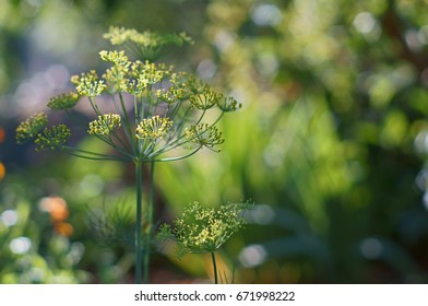 dill (anethum) in the garden