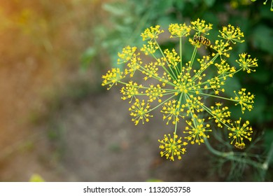 Dill (Fennel) flowers on natural background.
