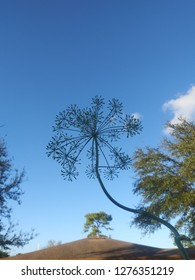 Dill flower against a blue sky