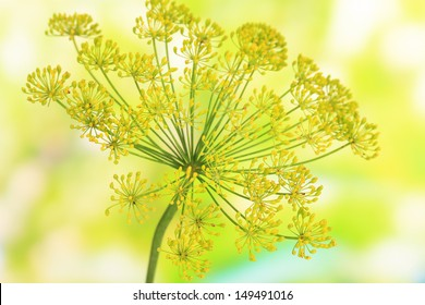 Dill flower on bright background close up