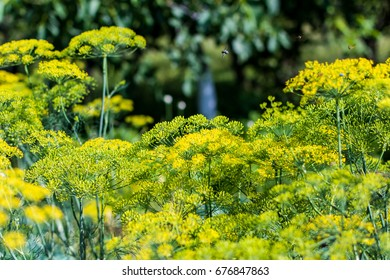 Dill flowers with bugs