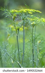 dill flowers in the garden on blurred background, closeup