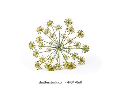 Dill flowers on white background