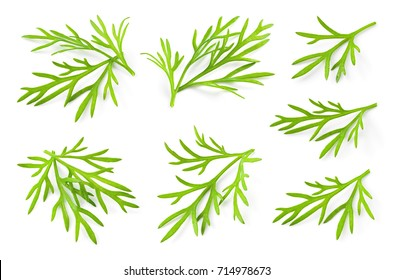 Dill. Fresh dill herb. Dill isolated. Collection.