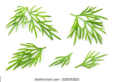 Dill. Fresh dill herb isolated on white. Collection.