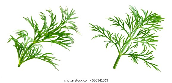 Dill. Herb leaf macro isolated on white background.