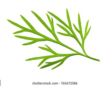 Dill. Dill isolated.