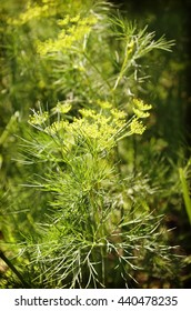 dill plant and flower as agricultural background