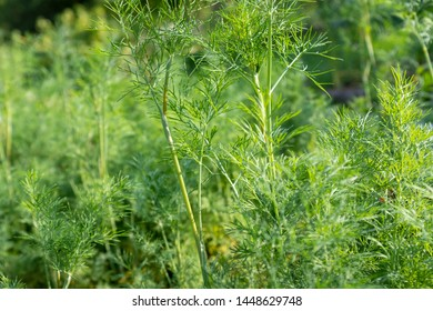 dill plant in a garden