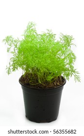 Dill in a pot - isolated on white background