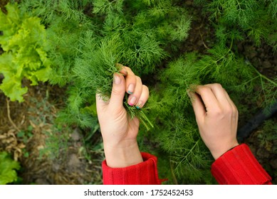 Dill, salad on the beds in the garden. Good green organic dill in the farmer's garden for food. Plants of young dill grow in the open ground. Salad set in the vegetable garden