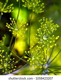 Dill with water drops