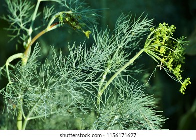 Dill weed grows in a home garden.