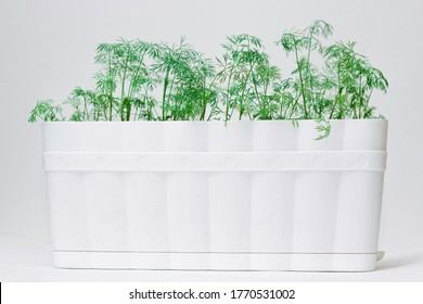Dill in a white pot on a white background. Green summer dill on a white background. Place to record. Greenery. Healthy diet. Diet. Greens for salad. Nutrition
