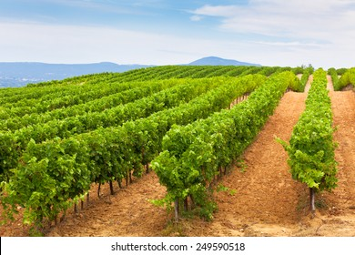 Diminishing rows of Vineyard Field in Southern France. Horizontal shot with selective focus