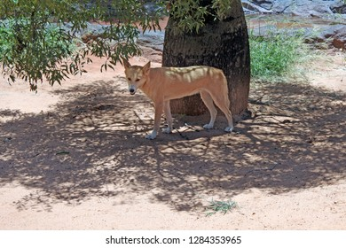 Dingo, Australian wild dog shading under a tree in the outback of Queensland, Australia.