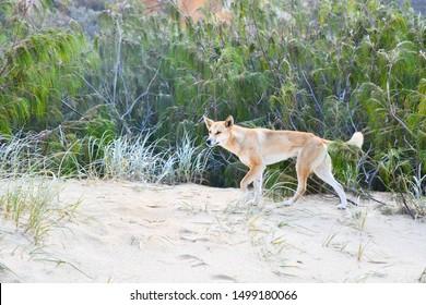 Dingo at the beach of Fraser Island
