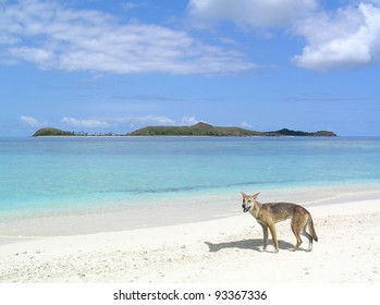 A dingo by the beach in Australia.