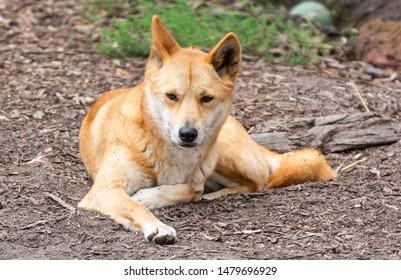 Dingo dog (Lupus Dingo) in Australia.