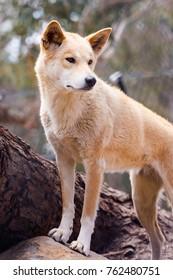 dingo dogs are native dogs in Australia