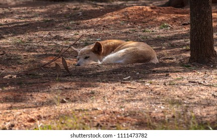 A Dingo lying on the ground
