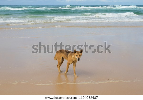 Dingo wild on the beach with sand and blue water in sunshine