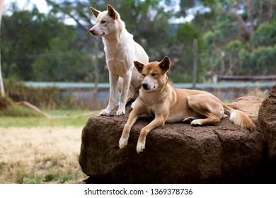 Dingos in a wildlife park on Philips Island, Victoria Australia.