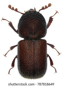 Dinoderus minutus is a species of wood-boring beetle from family Bostrichidae commonly called auger beetles, false powderpost beetles, or horned powderpost beetles. Isolated on a white background