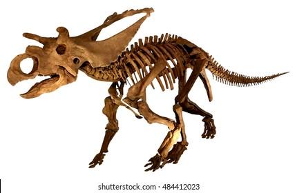 Dinosaur fossil (Triceratops / complete skeleton )