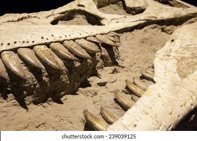 Dinosaur fossil - Tyrannosaurus Rex