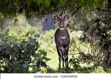 Dinsho - Ethiopia / June 2016: mountain Nyala, an endmic species that lives in Ethiopia, standing under the shade near bale mountain national park.
