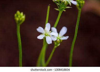 dionaea muscipula blossom, detail closeup look. Carnivorous plant.
