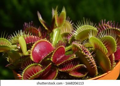 Dionaea Muscipula Typical form Red. Venus Flytrap - Predatory plant, Carnivorous Plant
